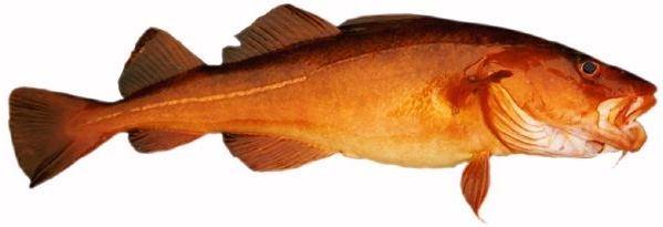 weise fisch soße nordsee